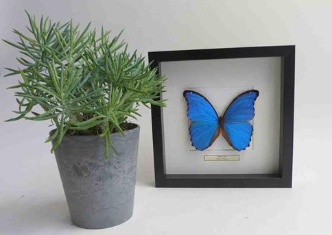 ingelijste vlinder