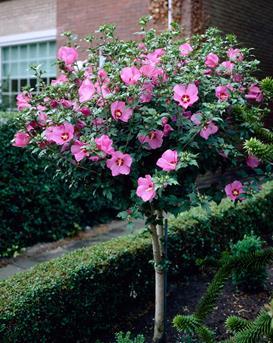 Hibiscus - Tuinplant van de Maand Juli 2014