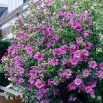 Zorgeloos genieten van tuinhibiscus