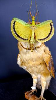 kerkuil-met-vlinder-in-stolp