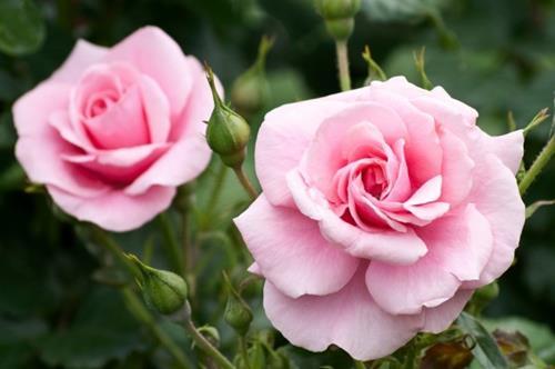geluksmoment de eerste roos
