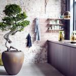 Robuuste, zomerse eyecatcher: Ficus Ginseng