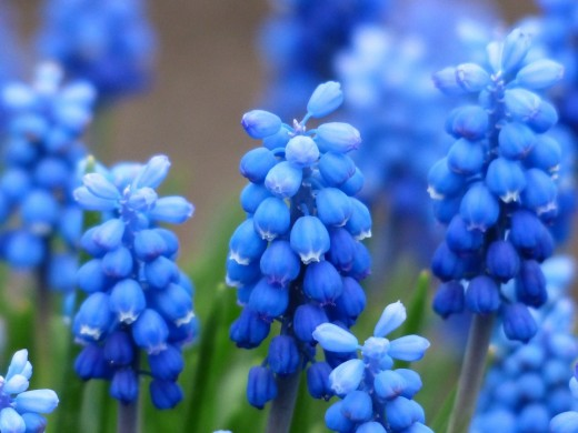 blauw druifjes