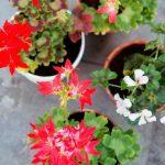 Balkonplant van het Jaar 2016: Geranium