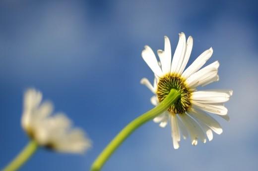 daisy-596765_960_720-pixabay-gratis