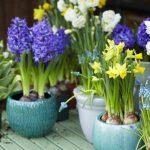 Tuinplant van de Maand februari: bolletjes op pot