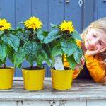 Potzonnebloem Sunsation zorgt voor extra zonuren