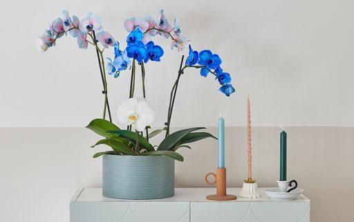 blauwe-orchidee